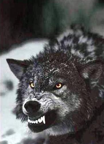 Les dents de loup.jpg